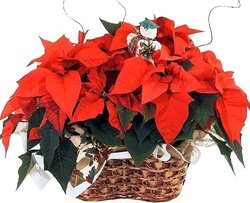 Basket of first-class red poinsettias