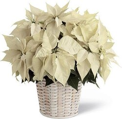Basket of first-class light-colored poinsettias