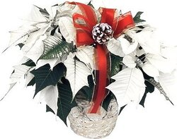Wish someone a merry Christmas with a white Poinsettia plant.