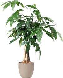 Indoor Plant for Home, Office, and Store